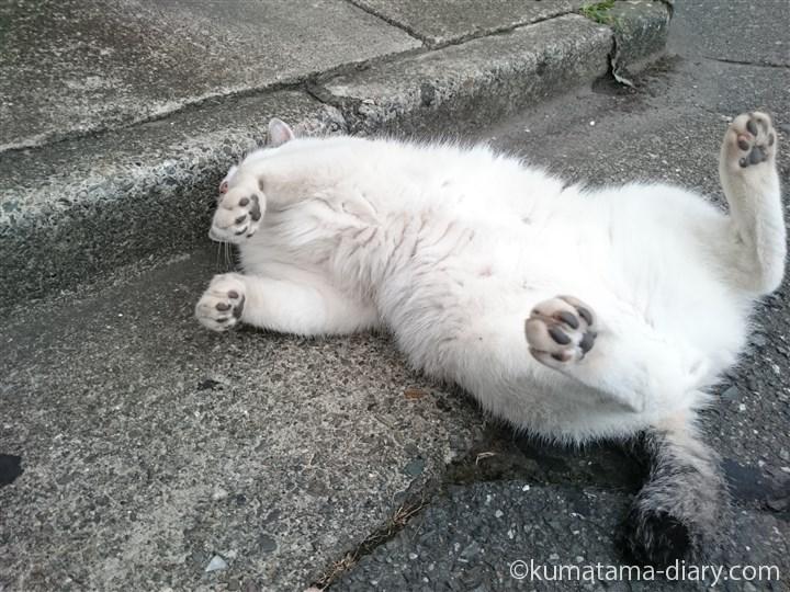 体を擦り付けるキジトラ白猫さん