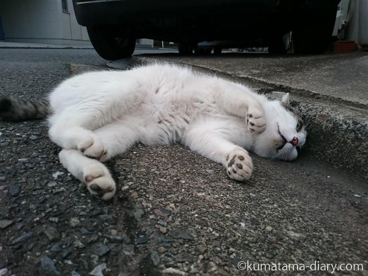 側溝に寝転がるキジトラ白猫さん