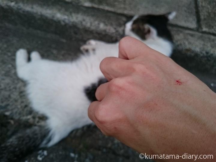 キジトラ白猫さんに引っかかる