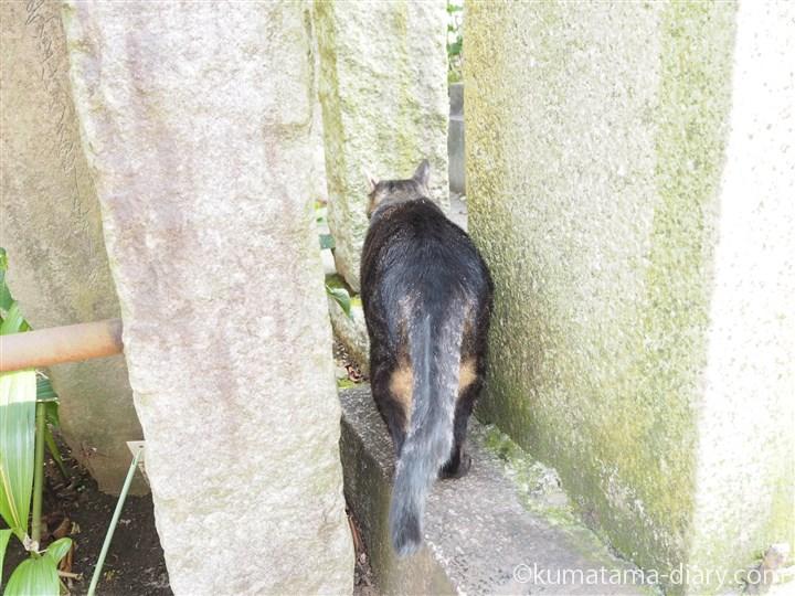 キジトラ猫さん後ろ姿