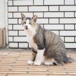 【文京区】近所のキジトラ白猫さん