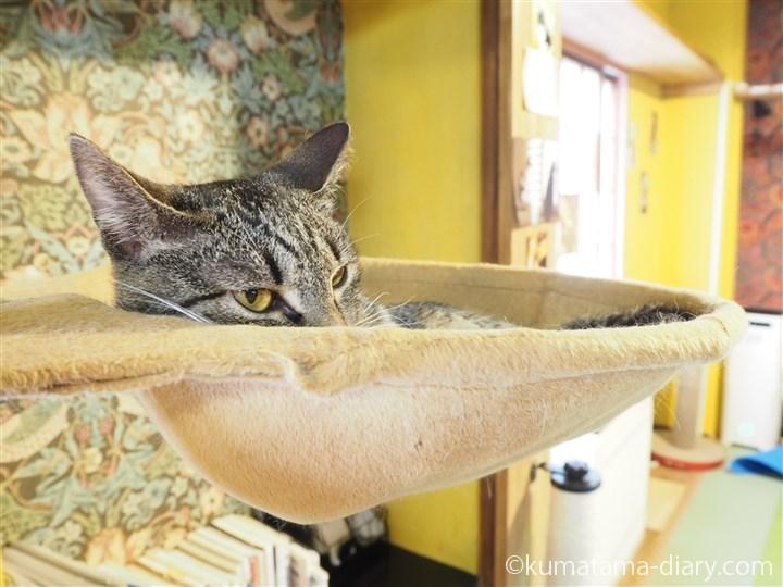 ハンモックで寝るキジトラ猫さん
