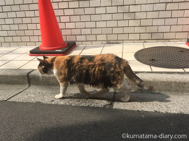 歩く三毛猫さん