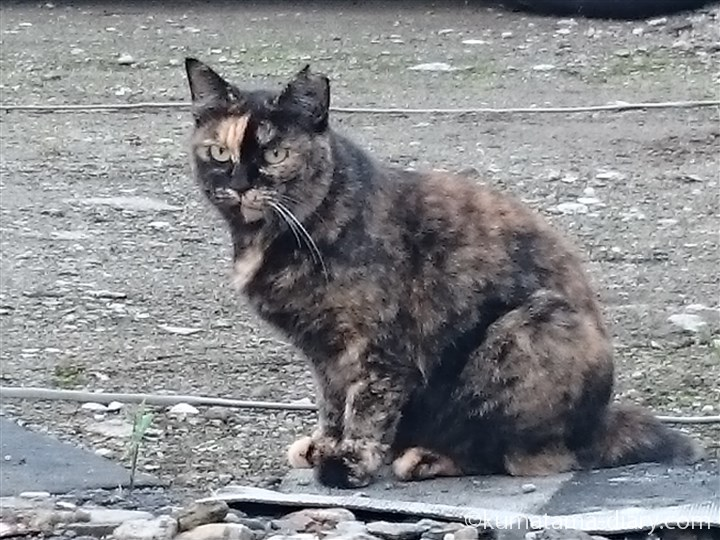 サビ猫さん