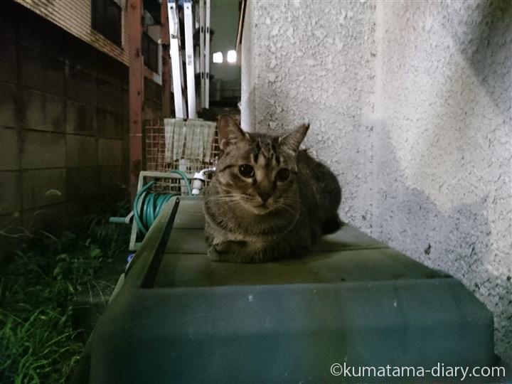 キジトラ猫さん雨の日