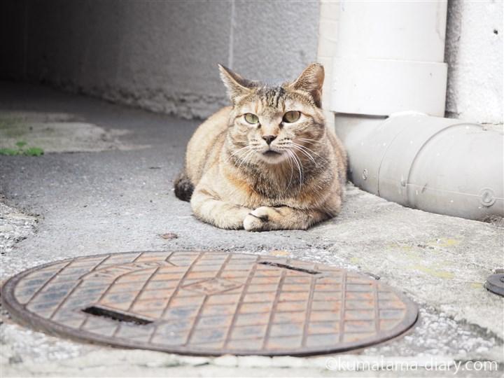 キジトラ猫さん香箱座り