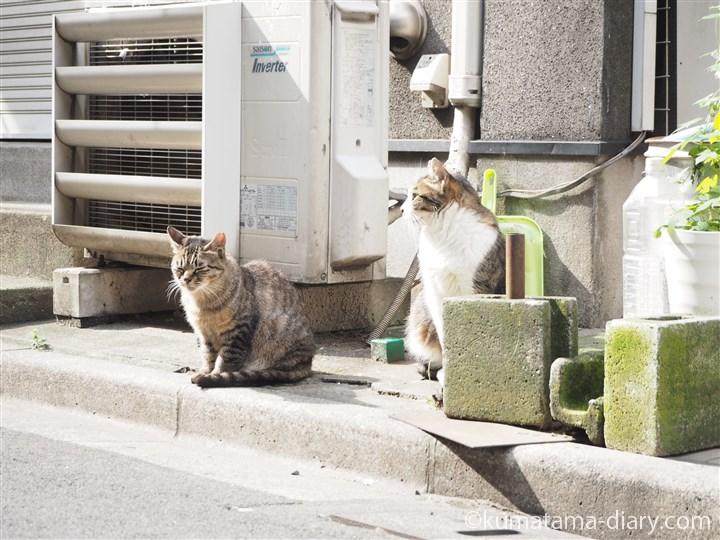 キジトラ猫さんとキジトラ白猫さん