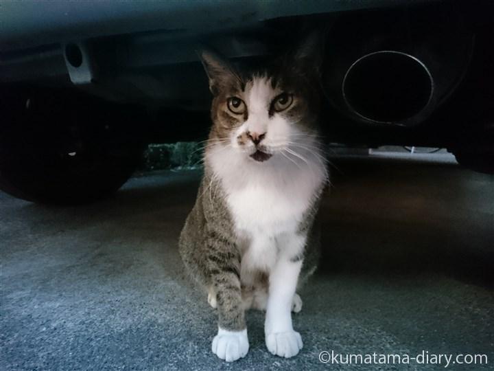 キジトラ白猫さん上目づかい