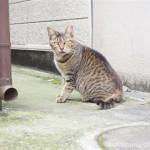 【文京区】近所のキジトラ猫さんと黒猫さん