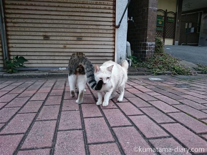 キジトラ白猫さん挨拶