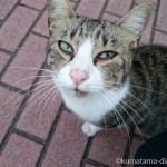 【若松区】見上げる瞳が印象的な人懐っこいキジトラ白猫さん