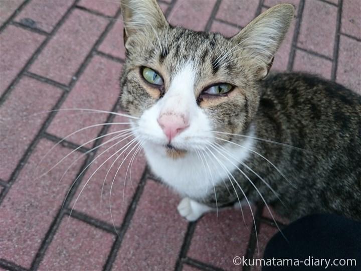 目元が印象的なキジトラ白猫さん