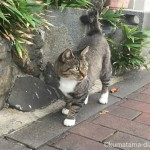 【戸畑区】白い靴下とかぎしっぽが可愛いキジトラ白猫さん