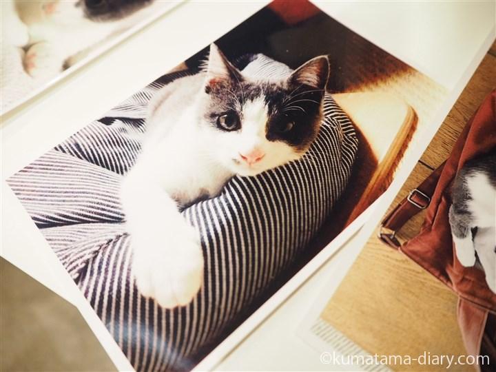 グレーハチワレ猫
