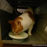 アイリスオーヤマの「トラベルキャリー」の中でエサを食べる猫