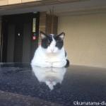 新大久保の車の上の白黒猫さん