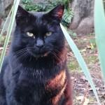 【文京区】体が大きな「白山神社」の黒猫さん