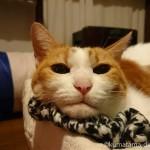 カシミアのストールにあごのせする猫