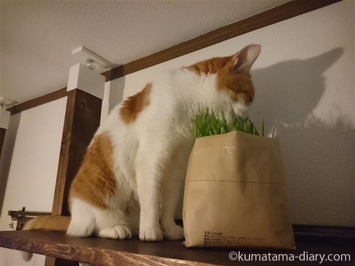 猫草を食べるたまき