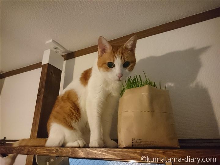 たまき猫草