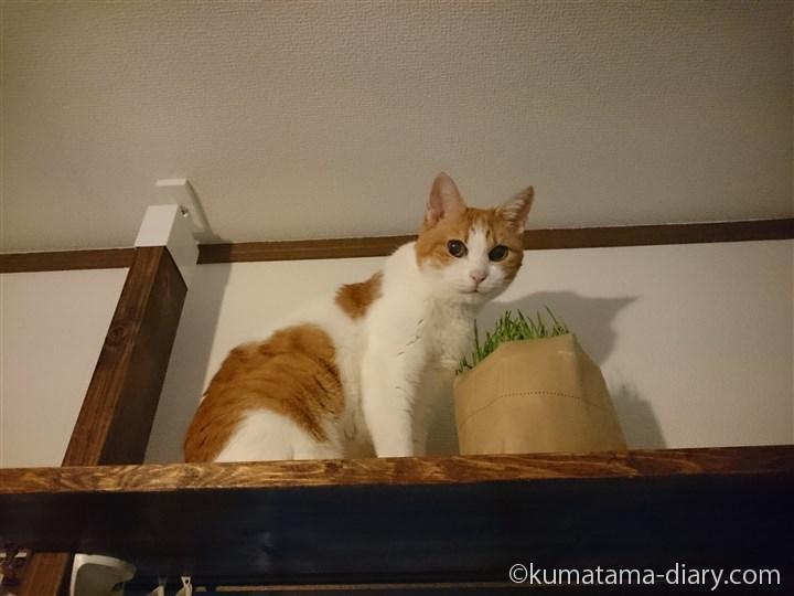 キャットウォークで猫草たまき
