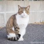 【若松区】駐車場にいた堂々たる風格のキジトラ白猫さん