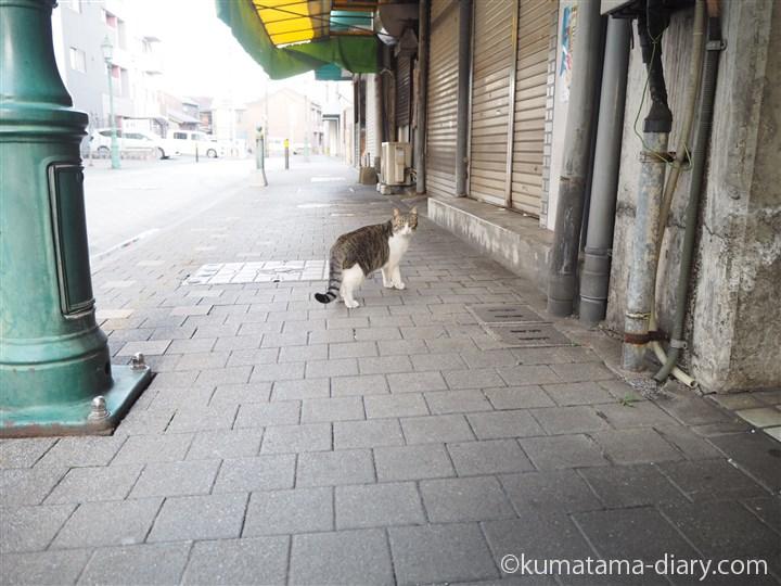 市場のキジトラ白猫さん
