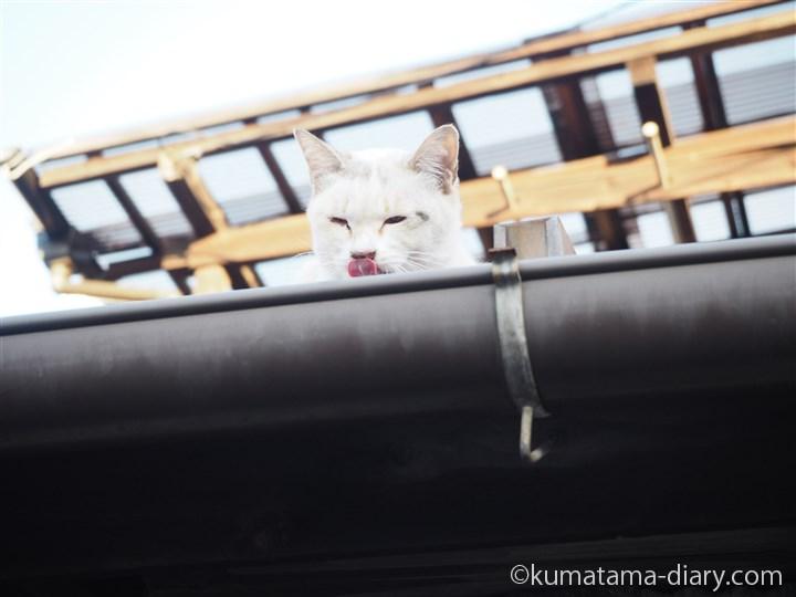 屋根の上の猫さんの舌