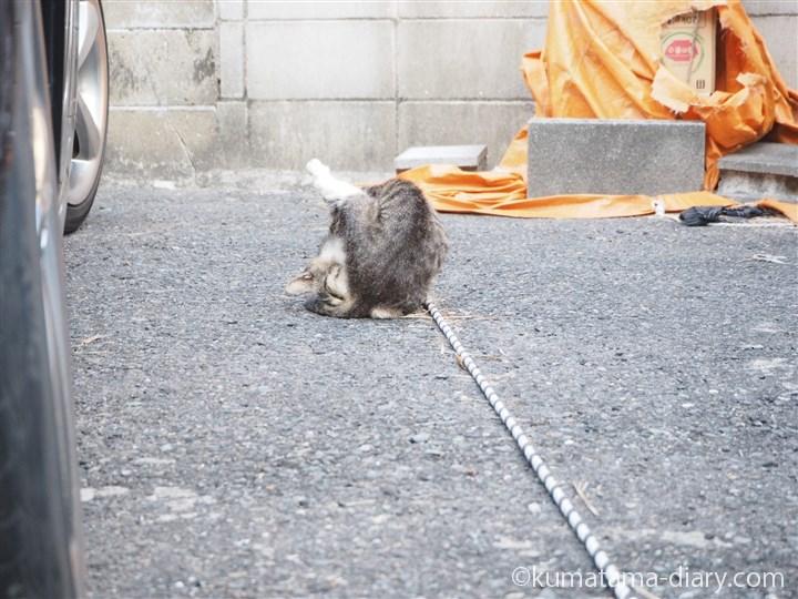 キジトラ白猫さんなめなめ