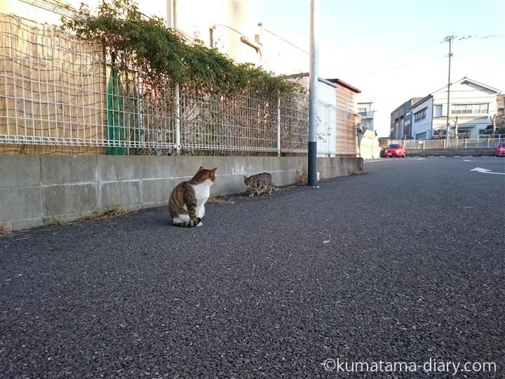 ヒョウ柄の猫さんとキジトラ白猫さん