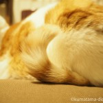しっぽがくるんとなっている猫