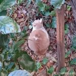神谷町のクリーム猫さん