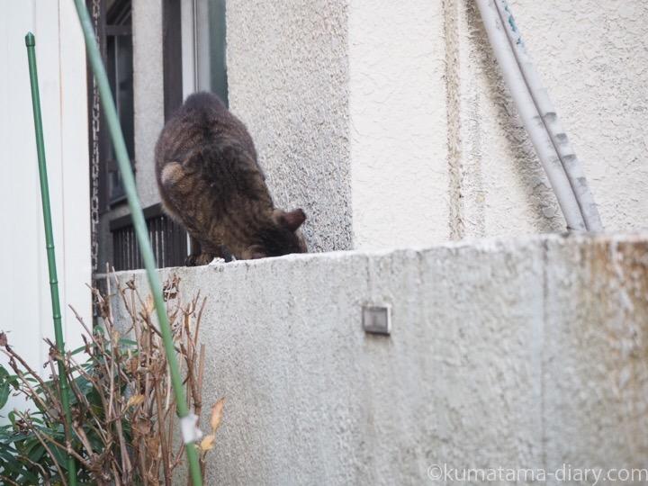 キジトラ猫さん頭スリスリ