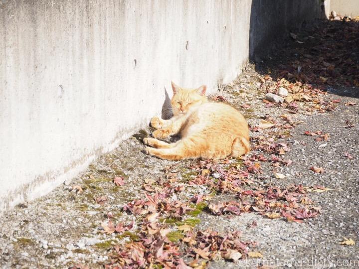駐車場の茶トラ猫さん