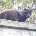 近所のワイルドなキジトラ猫さんと黒猫さん