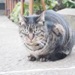 【文京区】白山神社のキジトラ猫さんたち