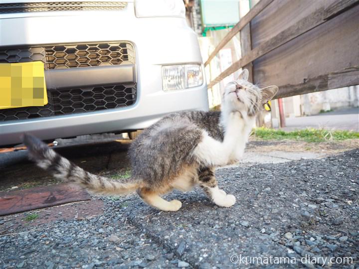 キジトラ白猫さんかきかき