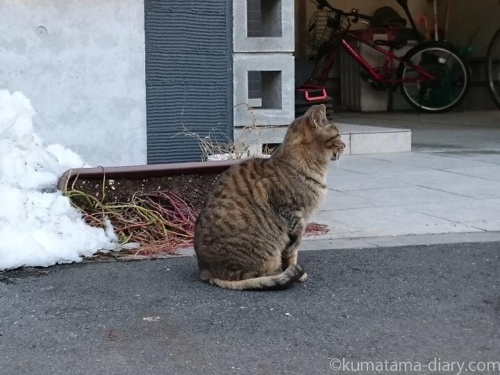 片足をあげるキジトラ猫さん