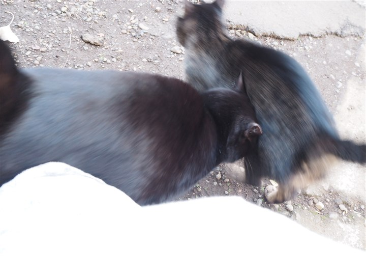 黒猫さんとキジトラ猫さんスリスリ