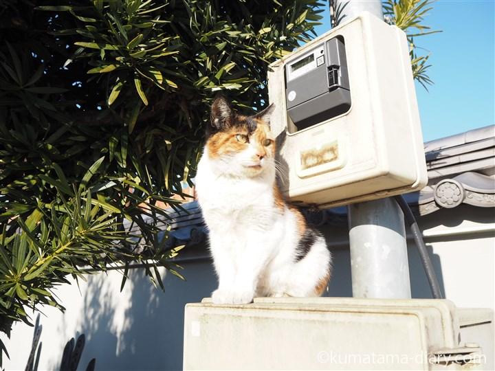 三毛猫さん立ち姿