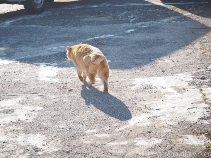 駐車場の逃げていく茶トラ猫さん
