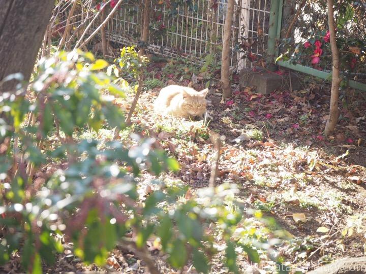 池袋茶トラ猫さん