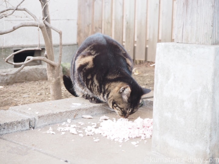 エサを食べるキジトラ猫さん