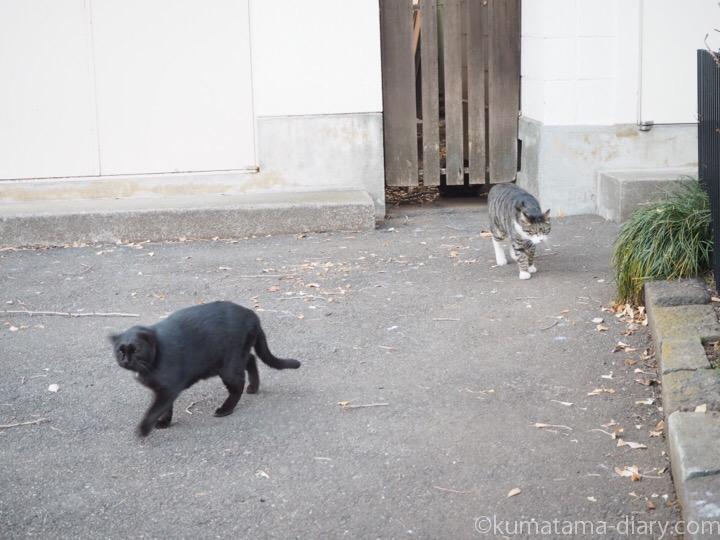 キジトラ白猫さんと黒猫さん