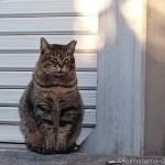 【文京区】体の大きなキジトラ猫さん
