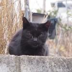 【文京区】白山神社の犬歯が長い黒猫さん
