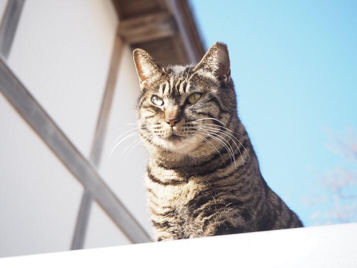 物置の上のキジトラ猫さん