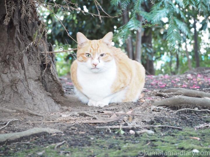 茶トラ白猫さん