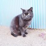 原宿の小柄な黒猫さんと白山神社の大柄な黒猫さん