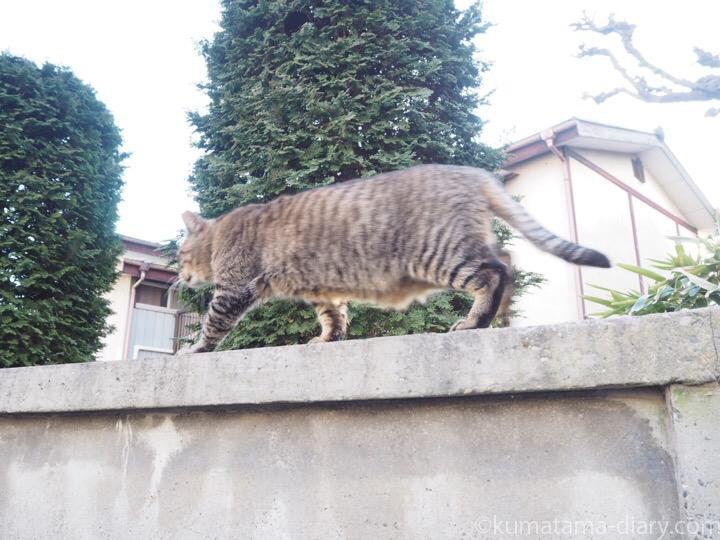 塀の上のキジトラ猫さん